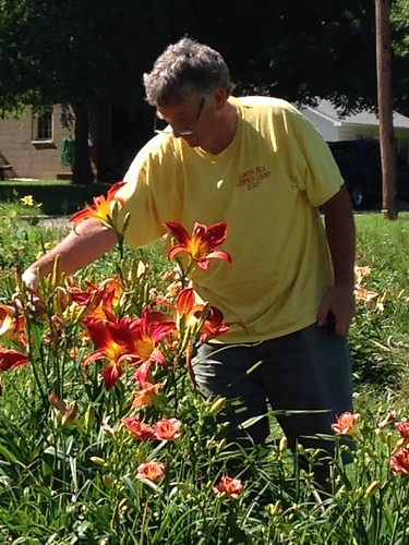 DH removing spent blossoms from the 'Christmas Ribbons' daylilies.
