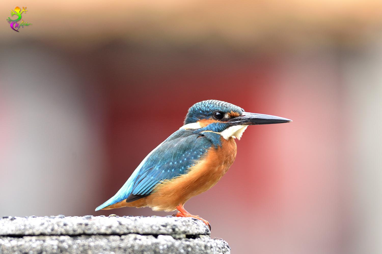 Common_Kingfisher_8840
