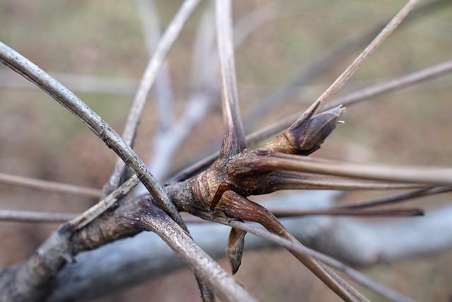 Carya laciniosa (Shellbark Hickory)