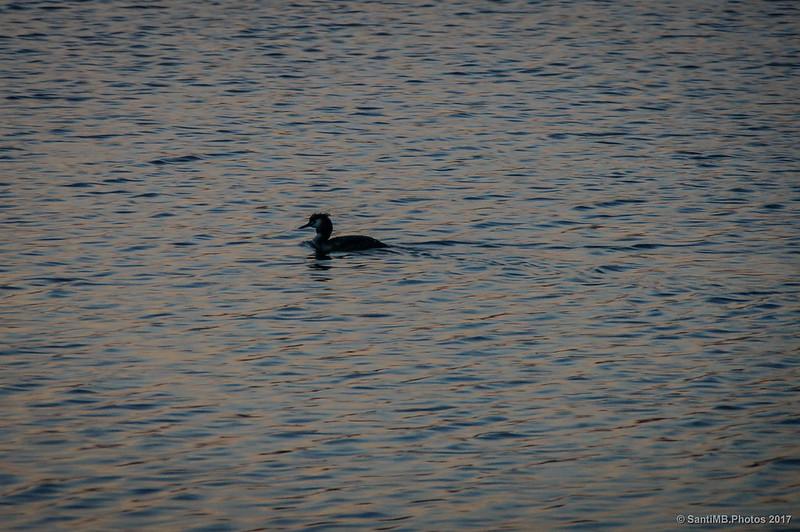 Somormujo en la laguna de Cal Tet