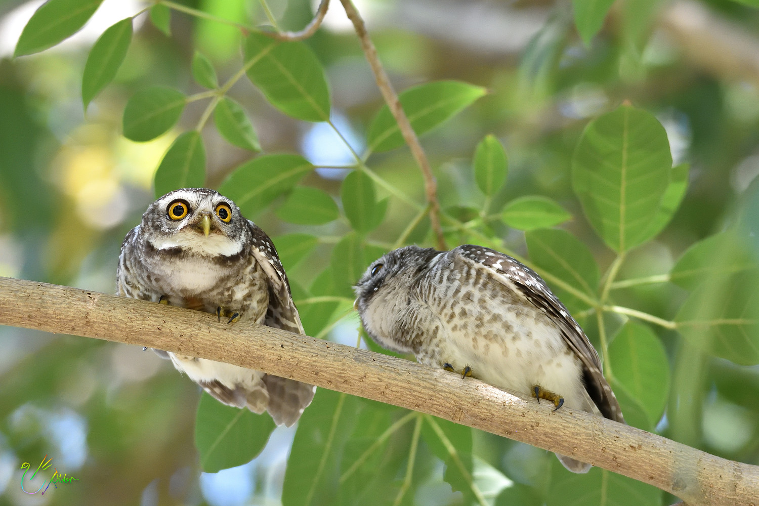 Spotted_Owlet_9430