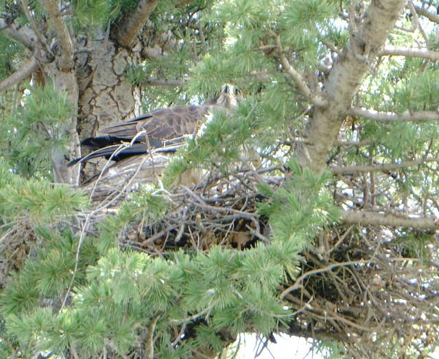 Swainsons Hawk on Nest 2