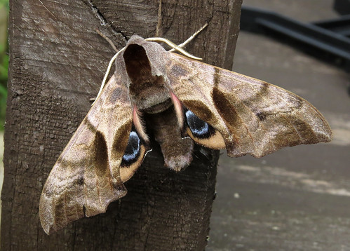 Eyed Hawk-moth Smerinthus ocellata Tophill Low NR, East Yorkshire June 2015