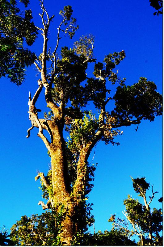 登幾阿佐名途中巨木 3