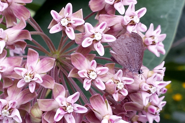 small purple-ish butterfly in milkweed blossoms