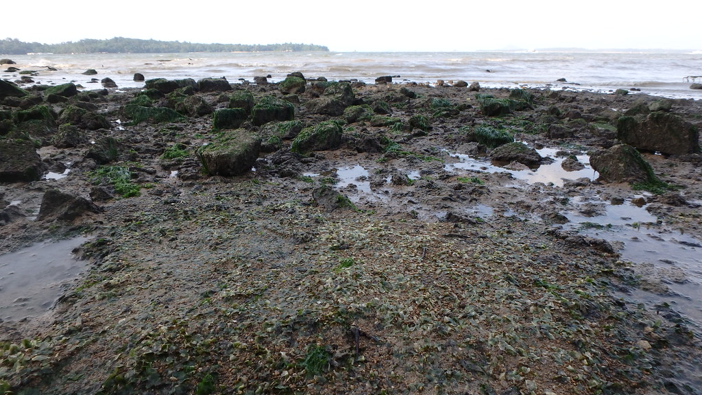 Seagrasses 'bleaching' at Changi after oil spill