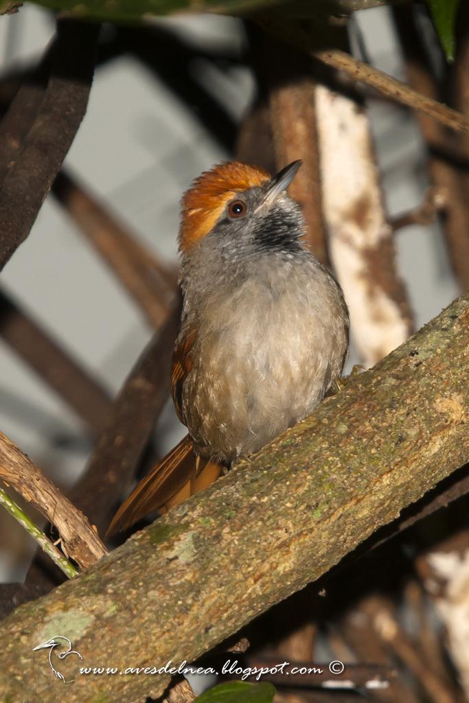 Pijuí corona rojiza (Rufous-capped Spinetail) Synallaxis ruficapilla