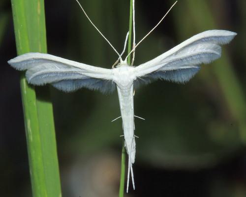 Large White Plume 9512