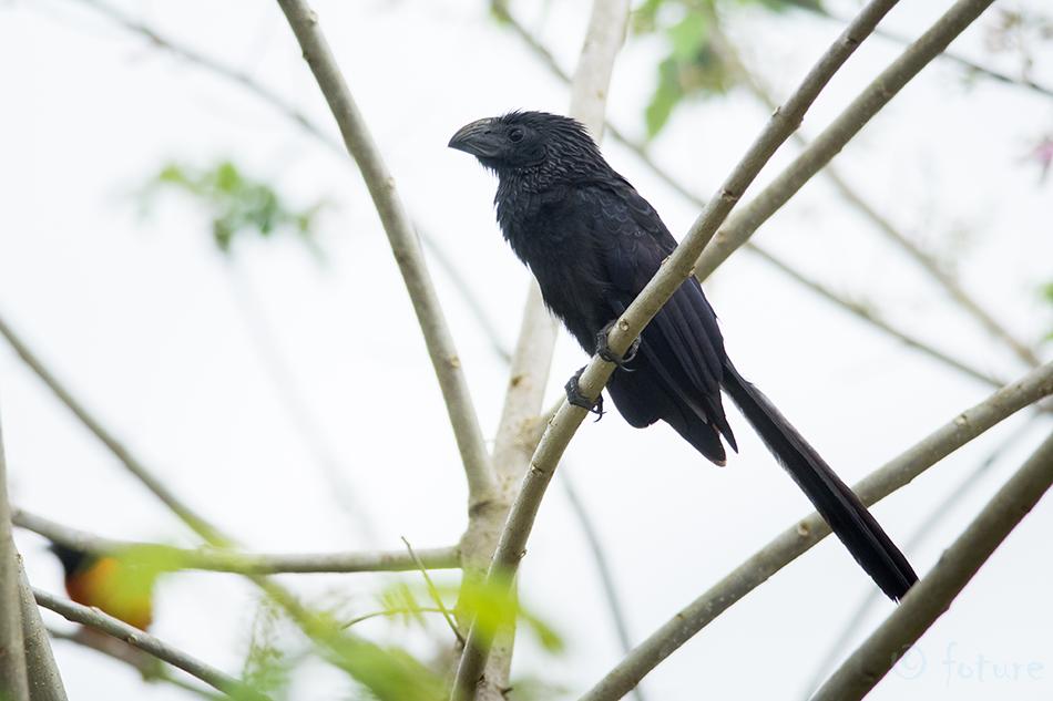 Vagunokk, ühiskägu, Crotophaga, sulcirostris, Groove, billed, Ani, Caño Negro, Wildlife, Refuge, Costa Rica, Kaido Rummel