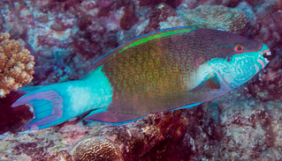 Bridled Parrotfish, terminal phase - Scarus frenatus | by zsispeo