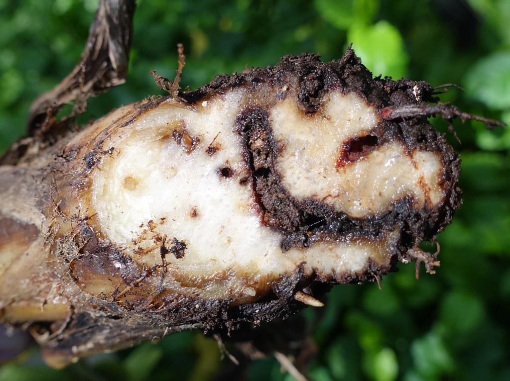 Banana: Corm weevils (Cosmopolites sordidus) injury to bas ...