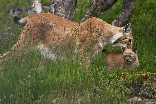 Lynx and cub | by Torbein