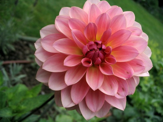 a fairly pretty flower  dahlia in maine  eric manchester  flickr, Beautiful flower