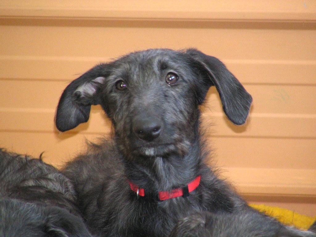 Scottish Deerhound Puppy   Ginger   pcb   Flickr