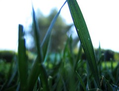 Grass Blade. | by shutterberry