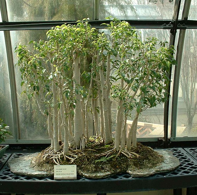 bonsai ficus benjamina 39 natasha 39 grove on slab age 20 year flickr. Black Bedroom Furniture Sets. Home Design Ideas