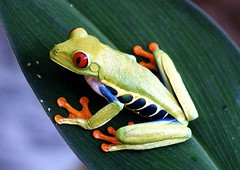 Red-Eyed Treefrog | by The Horned Jack Lizard