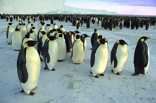 March of the penguins. | by BrynJ
