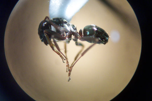 ant under a microscope - photo #13
