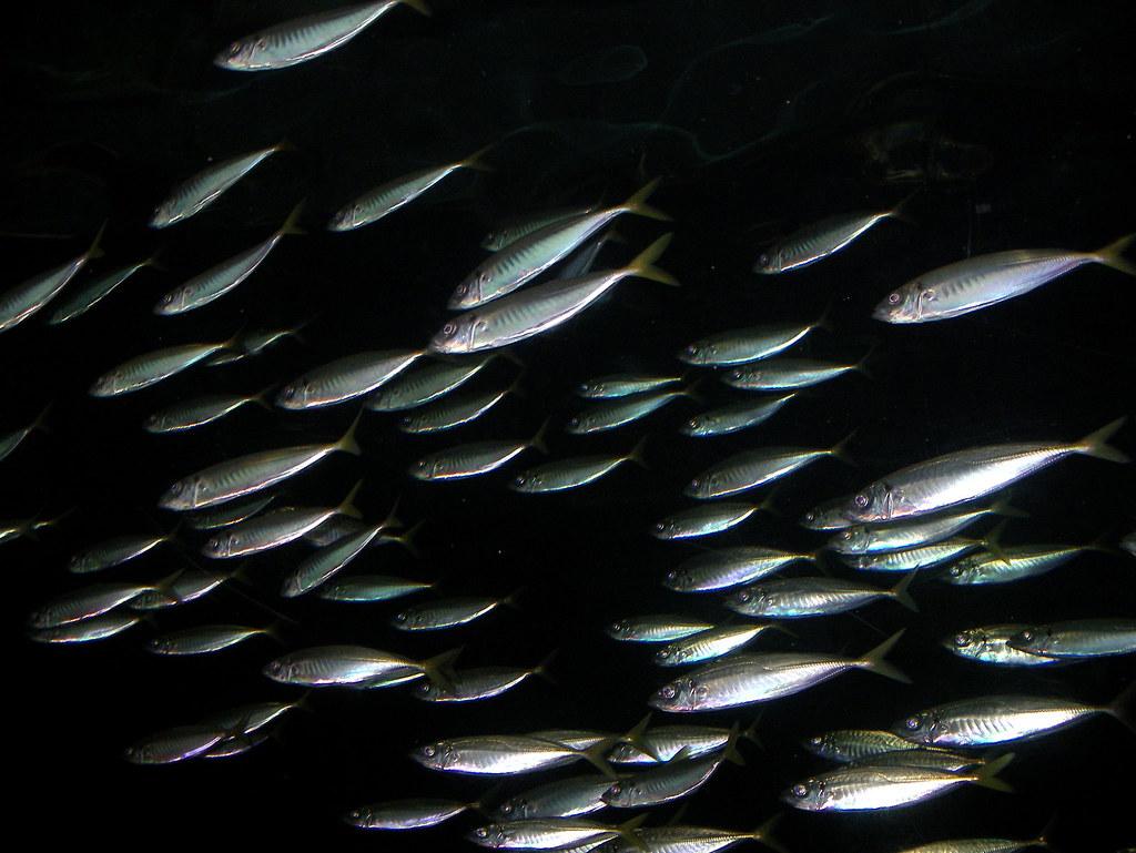 School of fish a school of small fish swimming in the for Little fish swim school