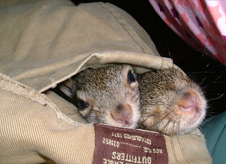 Squirrels In Pocket (two heads) | by (Alex)