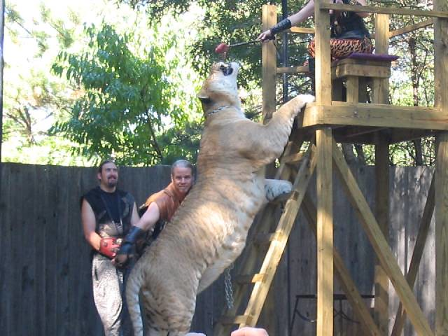 Largest Tiger in The World  |Biggest White Tiger In The World