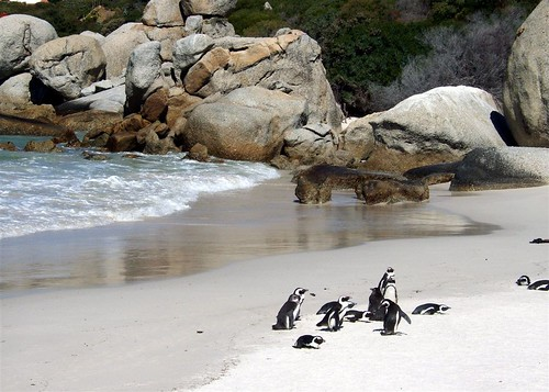 Jackass penguins at Boulders | by 126 Club