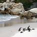 Jackass penguins at Boulders