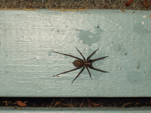 Giant House Spider | One of the common brown spiders we ... Funnel Spider Web