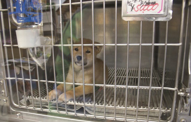 pet store puppy this little dog is the same time of. Black Bedroom Furniture Sets. Home Design Ideas