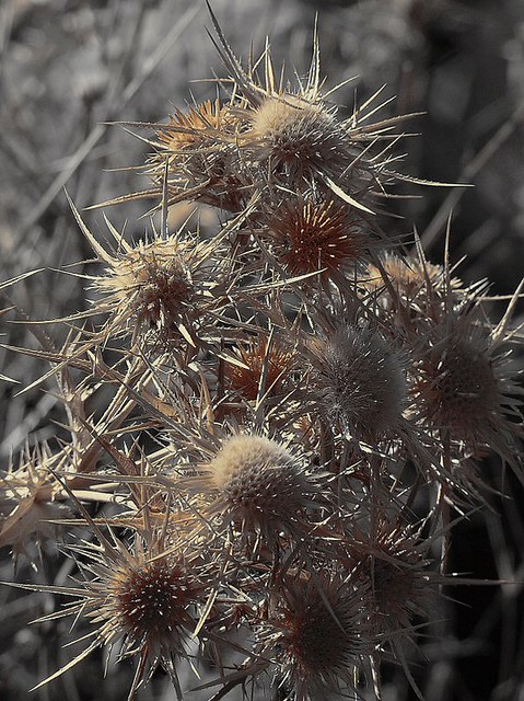 Oh The Prickly Bush It Pricks My Heart Full Sore Oh The