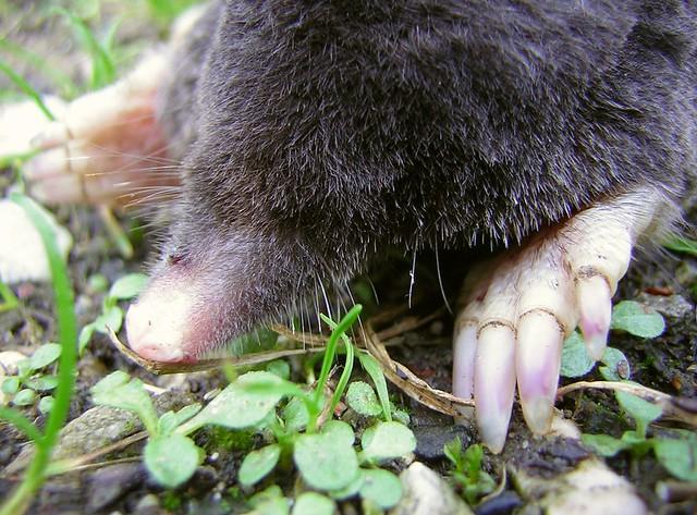Dearest Mole