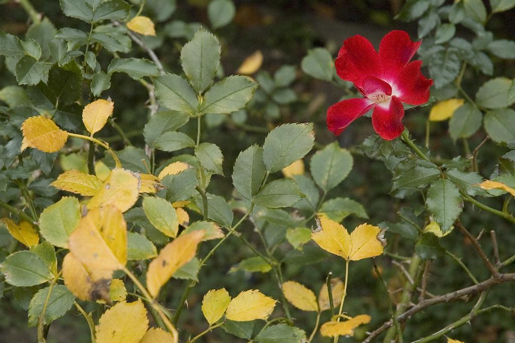 Rose Garden At Loose Park Scutter Flickr