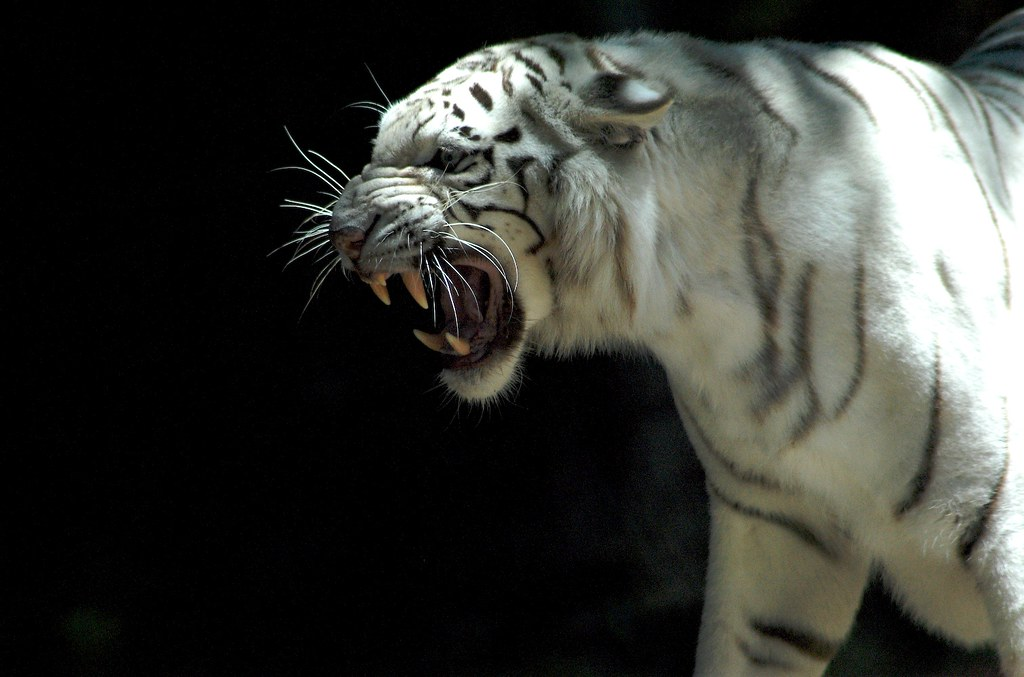 Angry White Tiger Large