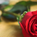 valentino rose