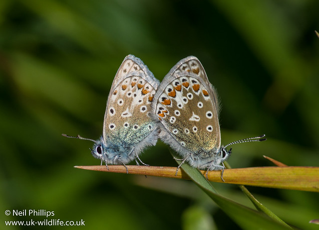 common blue mating pair