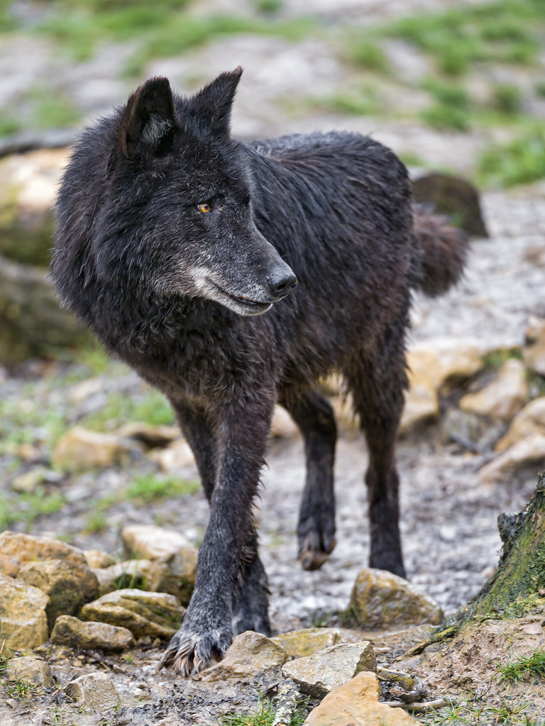 Black timberwolf looking back