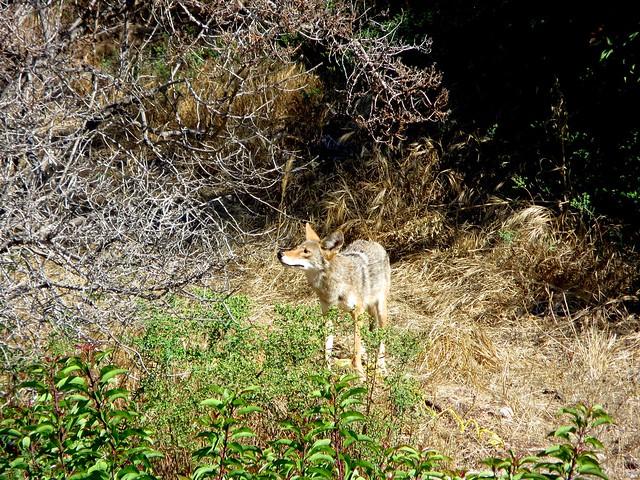 coyote mom