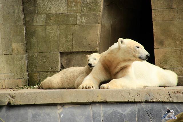 Eisbär Fiete im Zoo Rostock  347