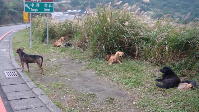 野犬遍布已成社會事實,民眾必須知道相關資訊。圖片來源:陽明山國家公園管理處