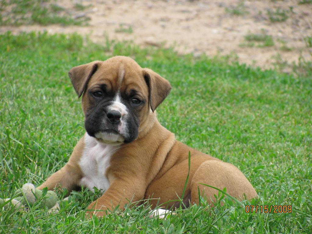 Boxer Dog For Sale Nj