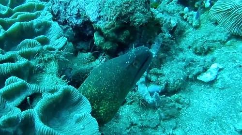 Moray eel and cleaner shrimp (GoPro screenshot)