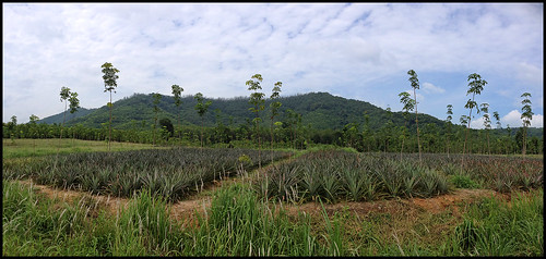Pineapples growing in Phang Nga