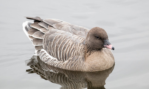 Pink-footed Goose | by Laura Erickson