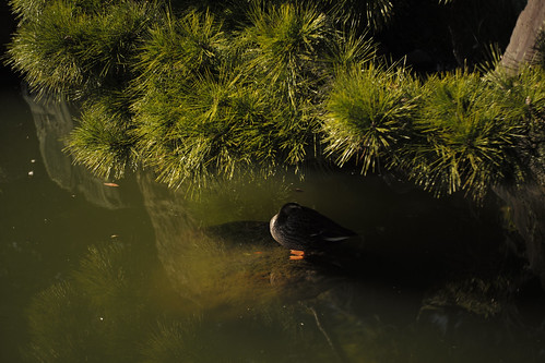 Duck in the shade