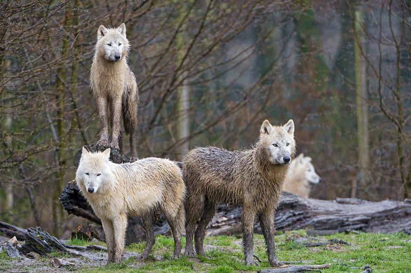 Three arctic wolves posing well!