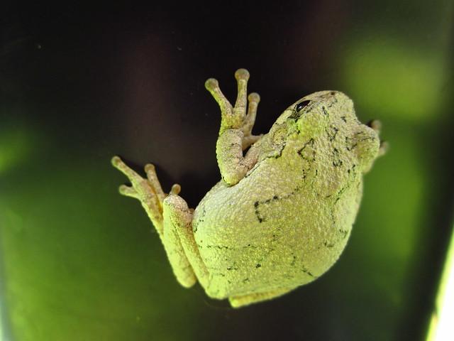 Tree Frog #2