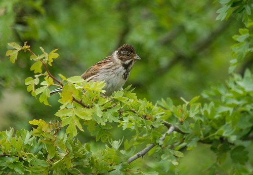 Reed Bunting, Biggleswade, 20th June 2015