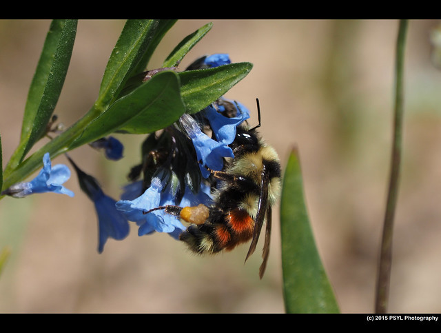 Bombus flavifrons on Mertensia brevistyla