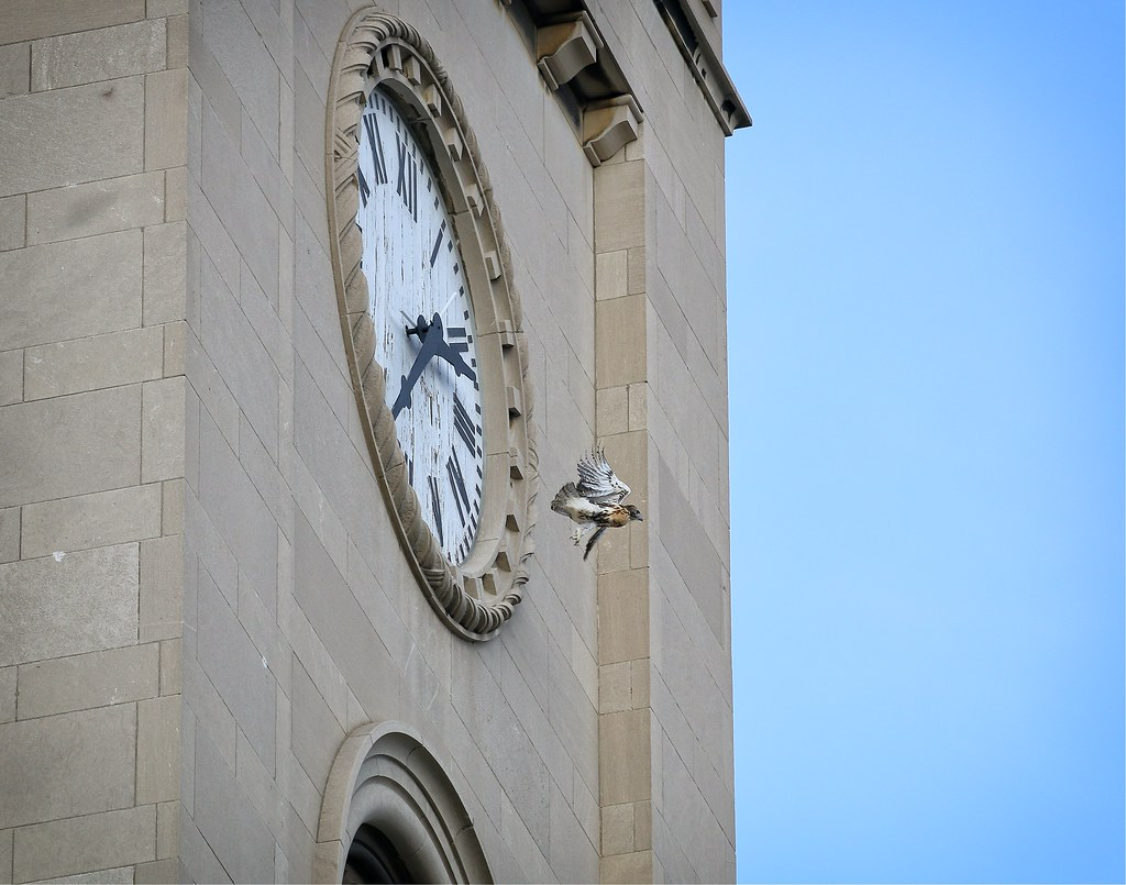Hawk o-clock